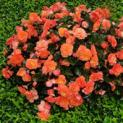Misswahlen bei den Balkonblumen: Die Blütenkönigin steht fest!